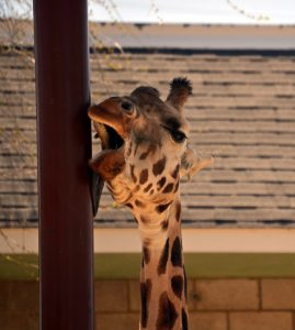 giraffe licking pole